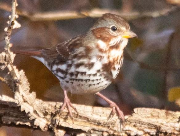 Fox Sparrow 2018-1