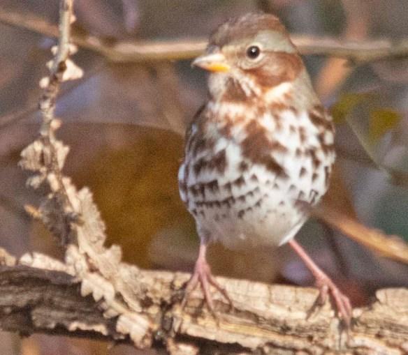 Fox Sparrow 2018-2