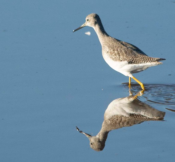 Greater Yellowlegs 2018-24