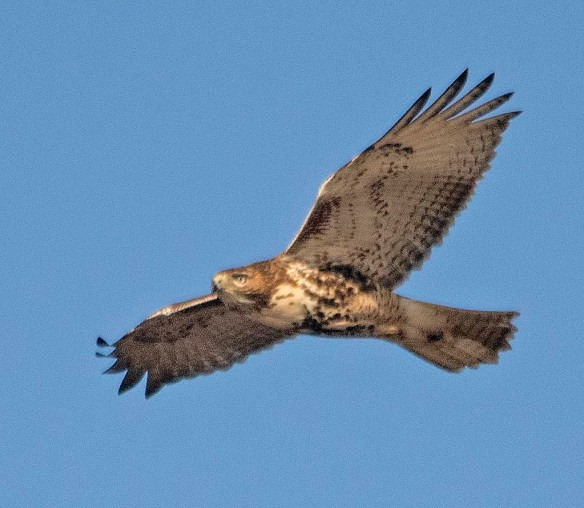 Red Tailed Hawk 2018-14