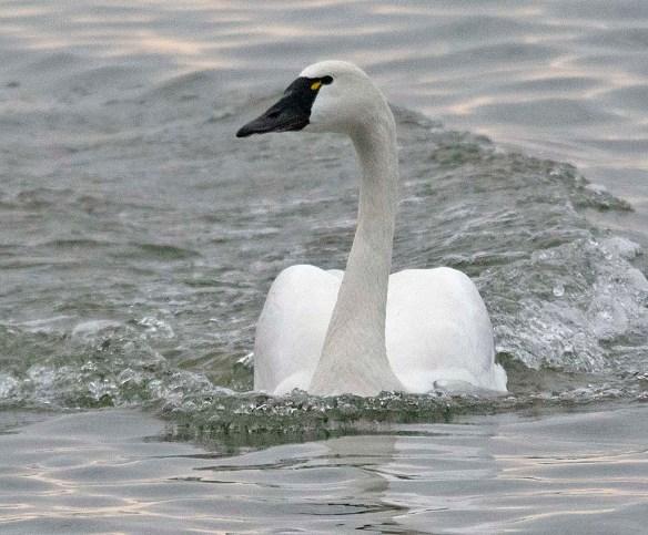 Tundra Swan 2018-30