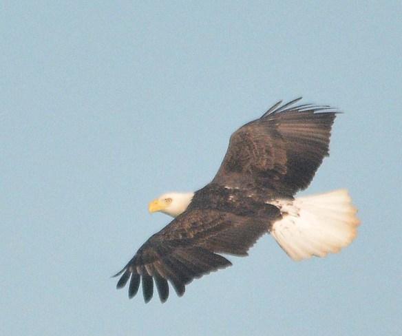 Bald Eagle 2018-86