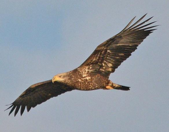Bald Eagle 2018-88