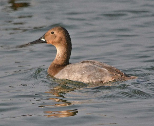 Canvasback 2018-28