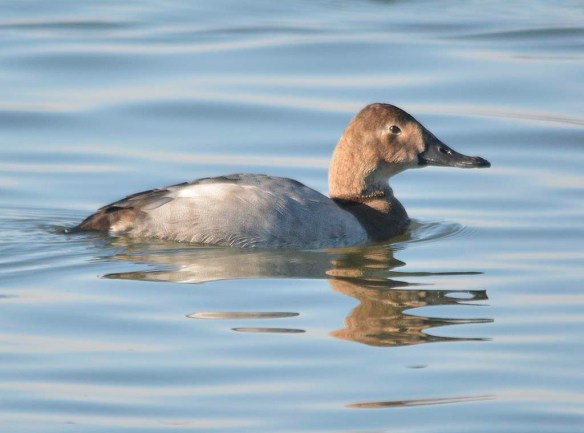 Canvasback 2018-37