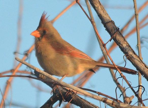 Cardinal 2018-20