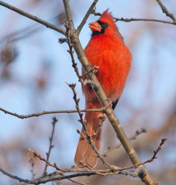 Cardinal 2018-21