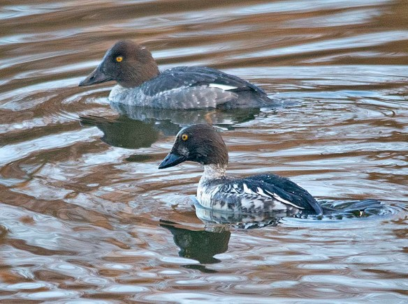 Common Goldeneye 2018-20