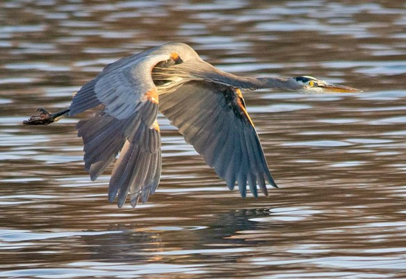 Great Blue Heron 2018-99