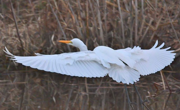 Great Egret 2018-105
