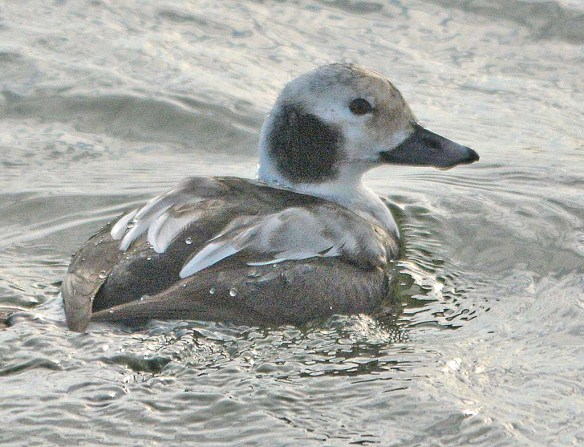 Long Tailed Duck 2018-10