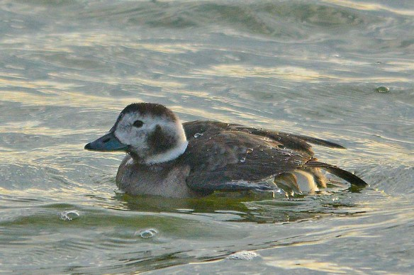 Long Tailed Duck 2018-11