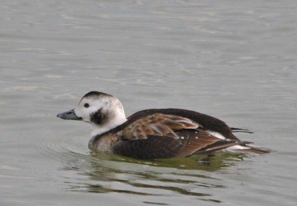Long Tailed Duck 2018-16