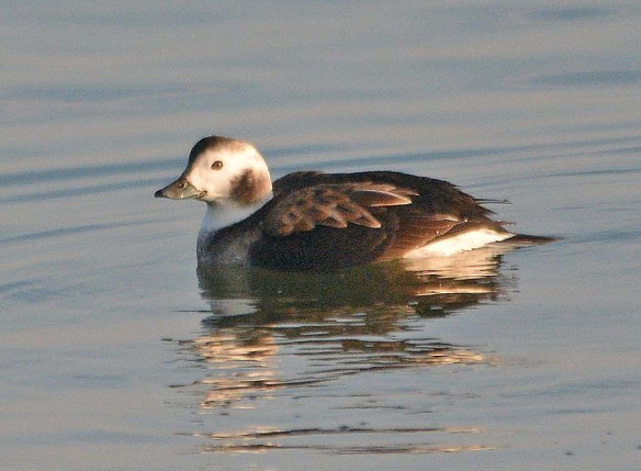 Long Tailed Duck 2018-17