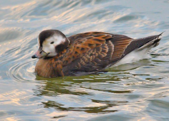 Long Tailed Duck 2018-18