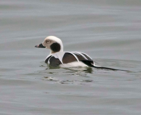 Long Tailed Duck 2018-26