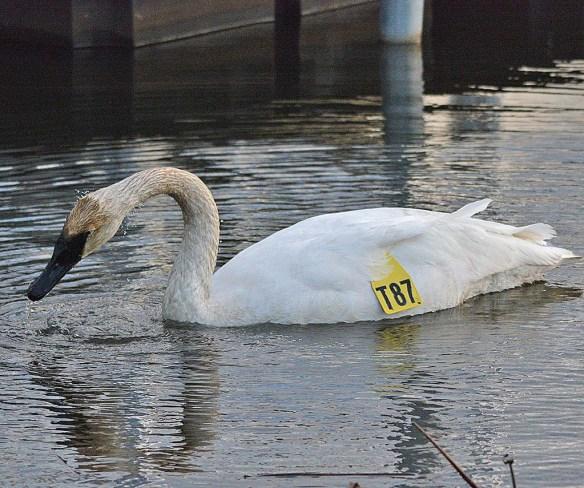 Trumpeter Swan 2018-1