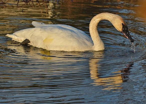 Trumpeter Swan 2018-2