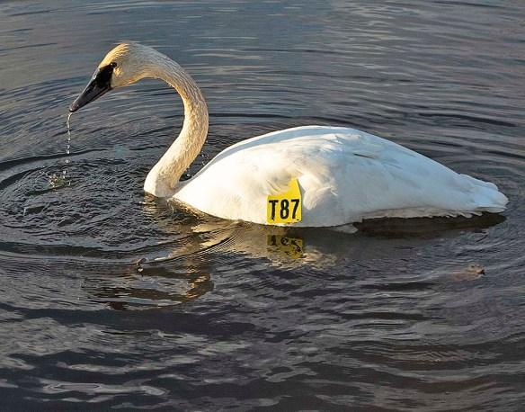 Trumpeter Swan 2018-4