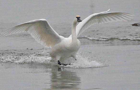 Tundra Swan 2018-40