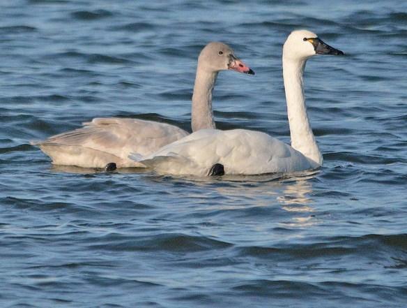 Tundra Swan 2018-43