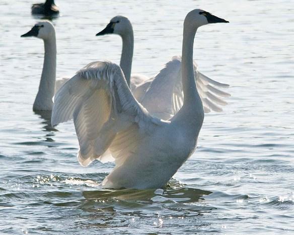 Tundra Swan 2018-53