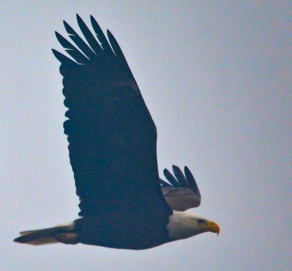 Bald Eagle 2019-4