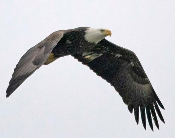 Bald Eagle 2019-5
