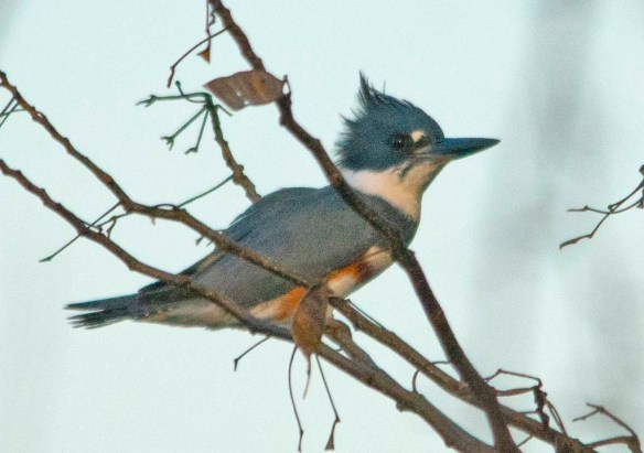 Belted Kingfisher 2019-1