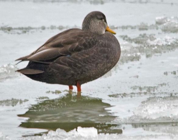 Black Duck 2019-7