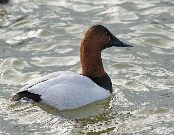 Canvasback 2019-4