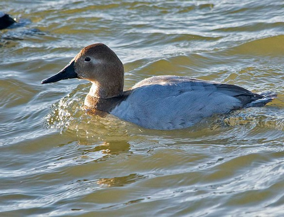 Canvasback 2019-6