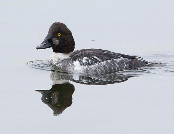Common Goldeneye 2019-5