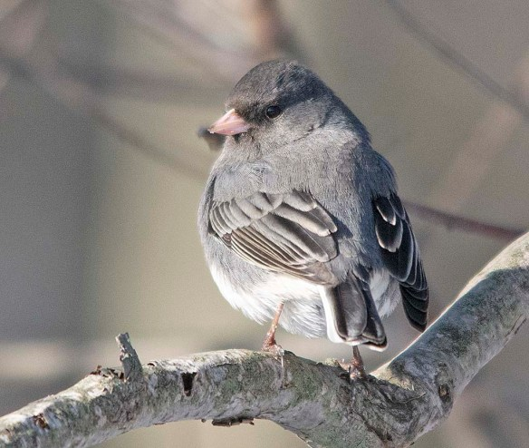 Dark Eyed Junco 2019-1