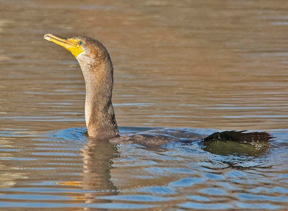 Double Crested Cormorant 2019-5