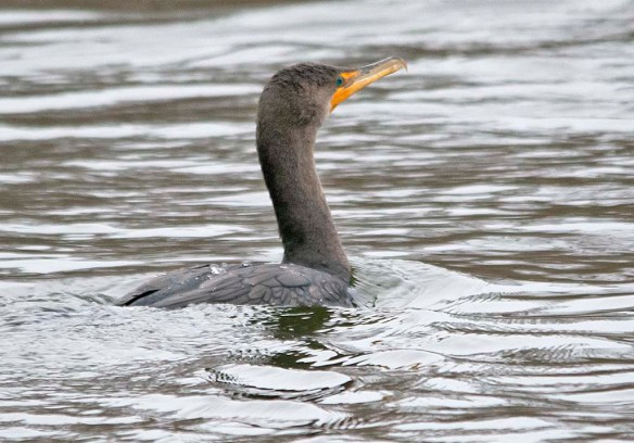 Double Crested Cormorant 2019-7