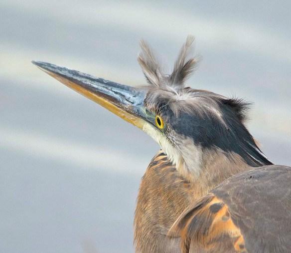 Great Blue Heron 2019-1