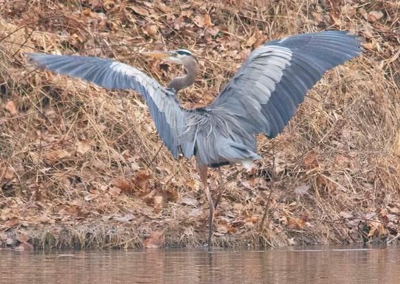 Great Blue Heron 2019-5