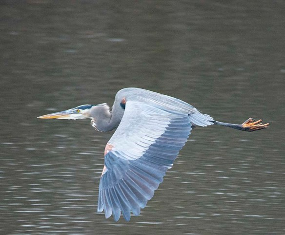 Great Blue Heron 2019-6
