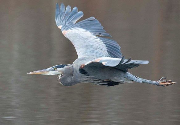 Great Blue Heron 2019-7