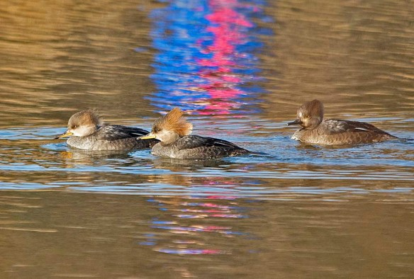 Hooded Merganser 2019-14