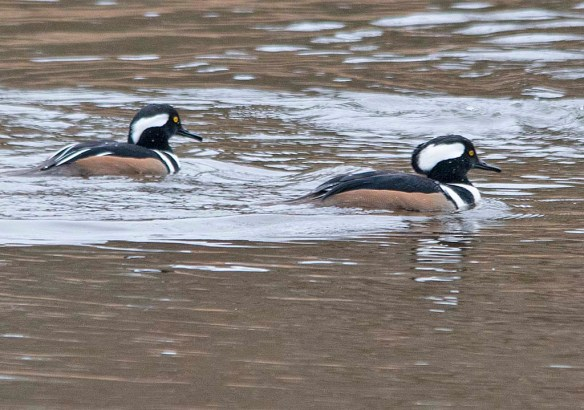 Hooded Merganser 2019-16