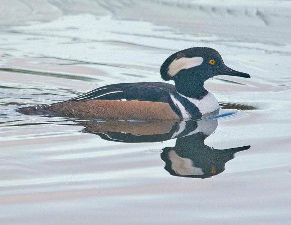 Hooded Merganser 2019-26
