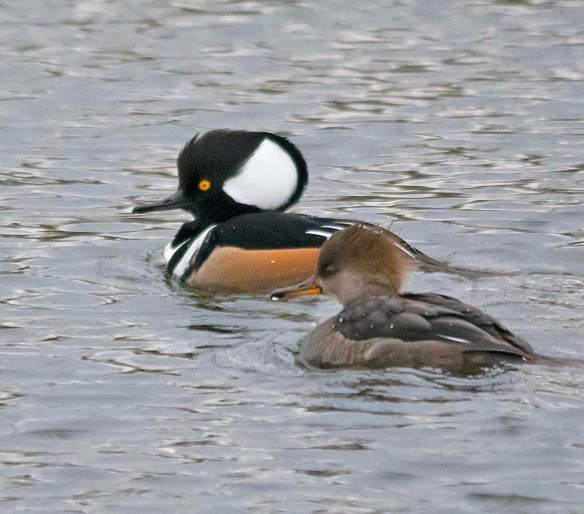 Hooded Merganser 2019-3