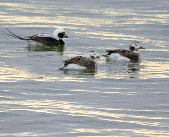 Long Tailed Duck 2019-1