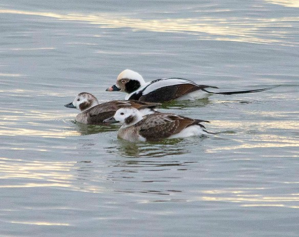 Long Tailed Duck 2019-3