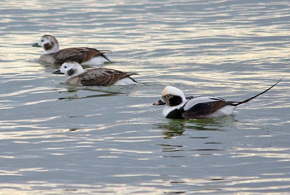 Long Tailed Duck 2019-7