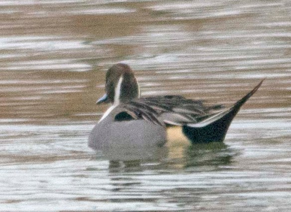 Northern Pintail 2019-1