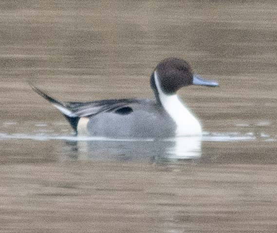 Northern Pintail 2019-2