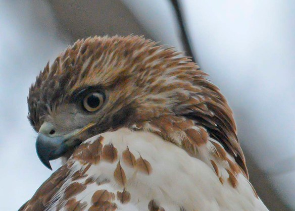 Red Tailed Hawk 2019-2
